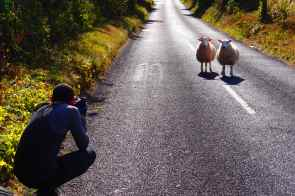 Sheep saying hello on the road